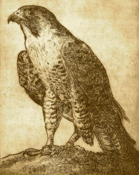 Peregrine Falcon by Doug Jamieson